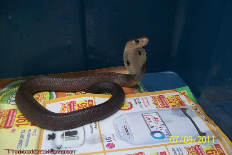 Femelle et mâle cobra monocle Naja kaouthia Het.Calico My_cal13