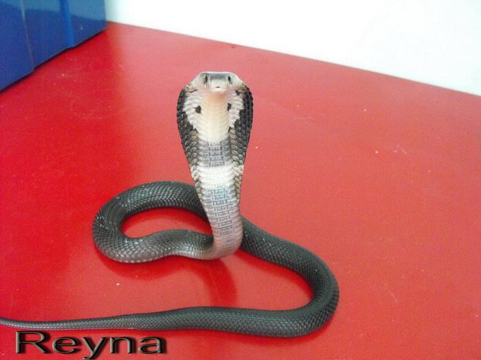 Mes Cobras monocle thailandais (Naja kaouthia Het.Axanthic) Raarey14