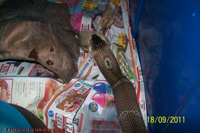 Mes Cobras monocle thailandais (Naja kaouthia Het.Axanthic) Raarey16