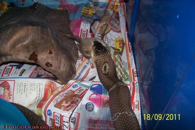 Mes Cobras monocle thailandais (Naja kaouthia Het.Axanthic) Raarey17