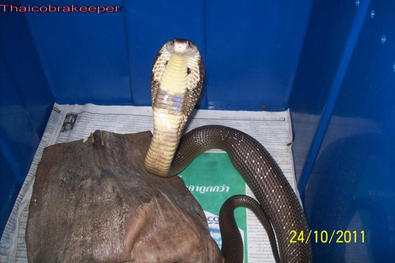 Mes Cobras monocle thailandais (Naja kaouthia Het.Axanthic) Raarey38