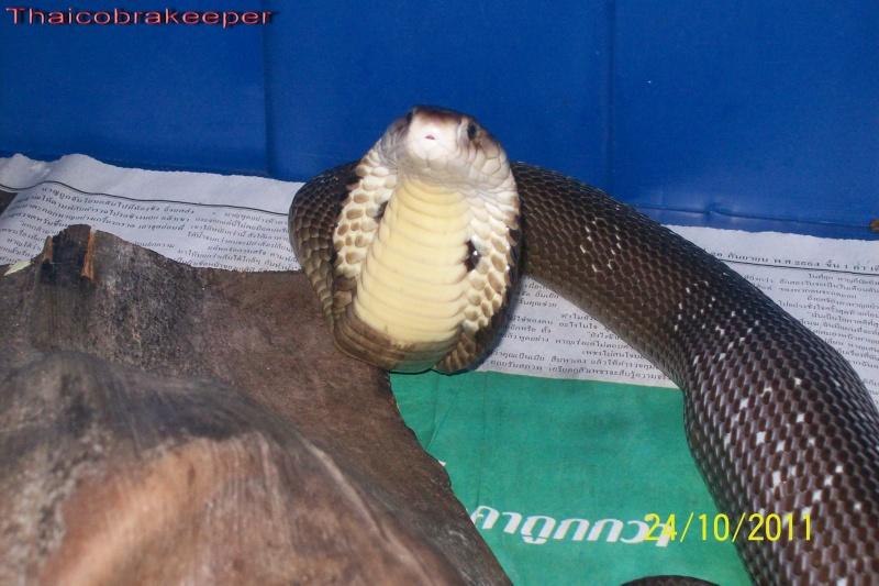 Mes Cobras monocle thailandais (Naja kaouthia Het.Axanthic) Raarey40