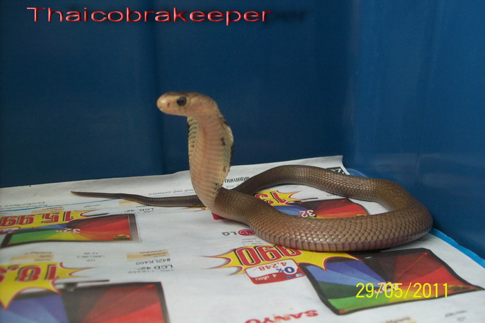 Speciale Cobra monocle Naja kaouthia Het.Axanthic Ramses19