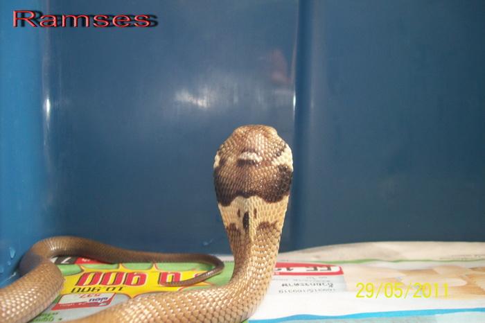 Speciale Cobra monocle Naja kaouthia Het.Axanthic Ramses20