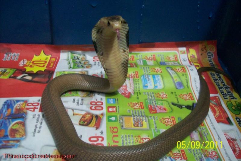 Speciale Cobra monocle Naja kaouthia Het.Axanthic Ramses22