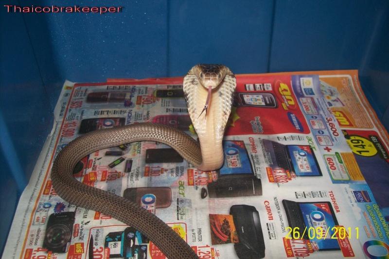 Speciale Cobra monocle Naja kaouthia Het.Axanthic Ramses29