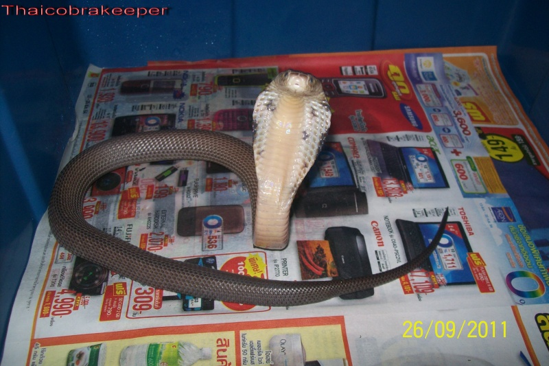 Speciale Cobra monocle Naja kaouthia Het.Axanthic Ramses31