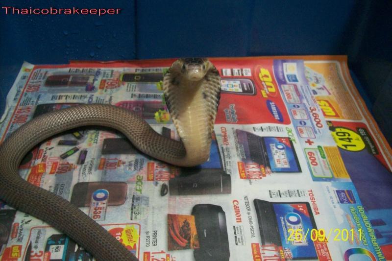 Speciale Cobra monocle Naja kaouthia Het.Axanthic Ramses33
