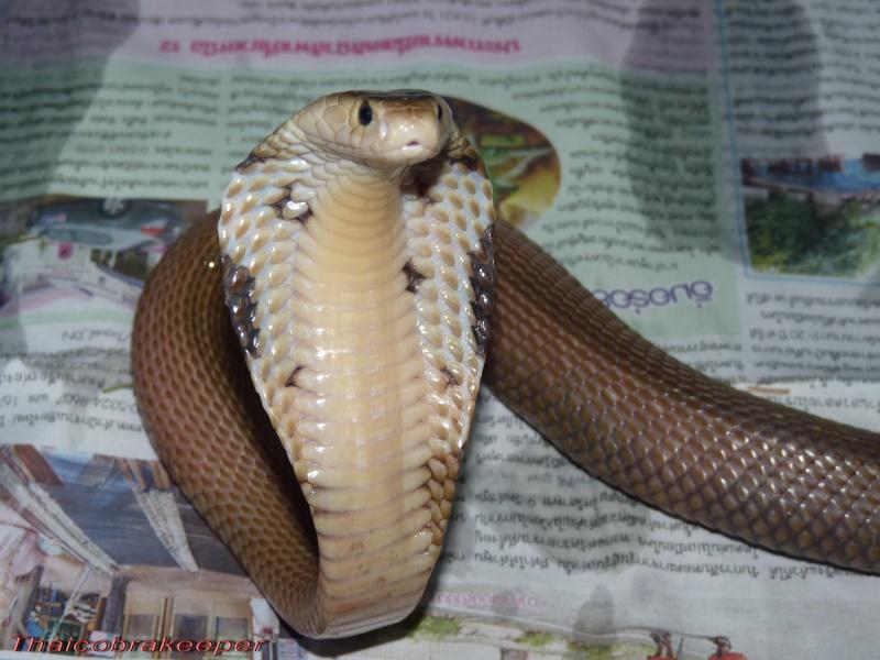 Speciale Cobra monocle Naja kaouthia Het.Axanthic Ramses49