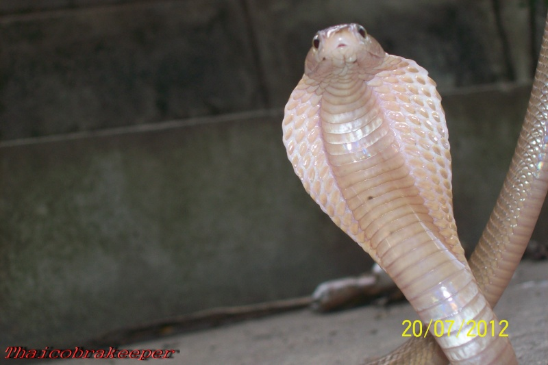 Naja kaouthia Suphanensis Suphan28