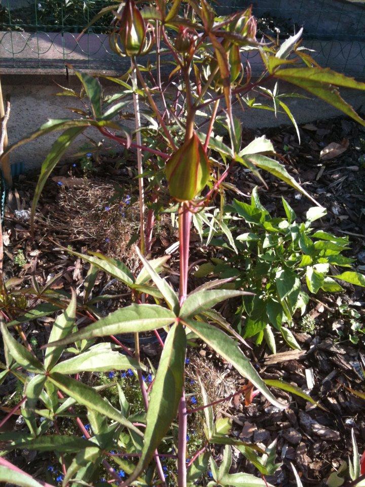 Hibiscus coccineus - Page 4 29632910