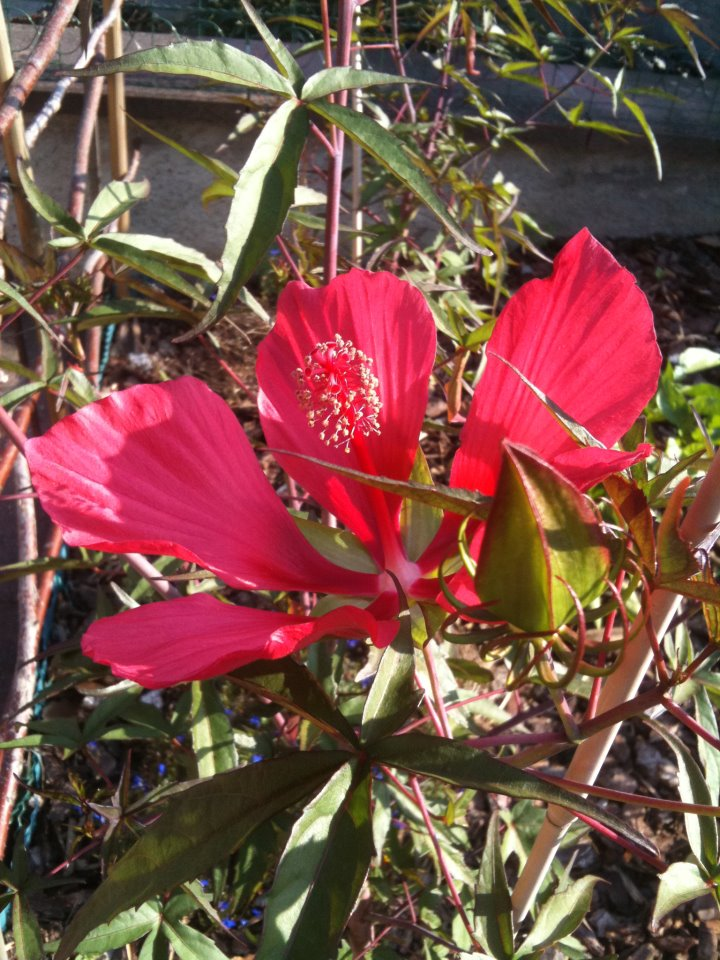 Hibiscus coccineus - Page 4 30979813