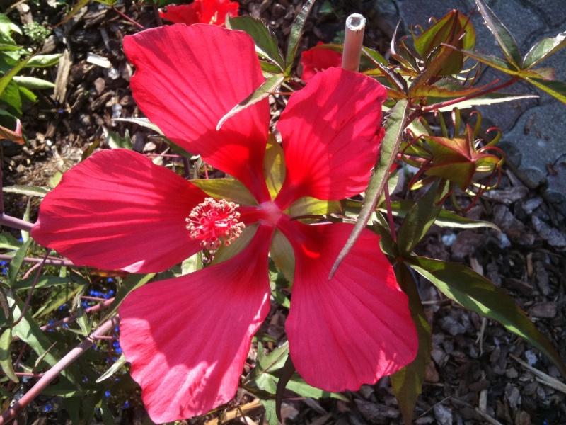 Hibiscus coccineus - Page 4 Hibisc11