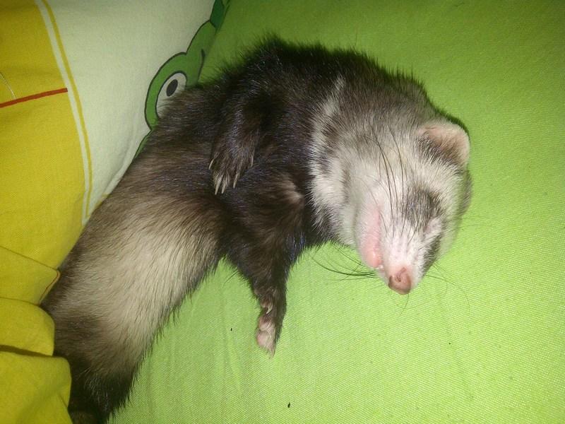 Pout-Pout , fureton femelle putoisée, adoptée par grenouille - Page 2 Mini-m10
