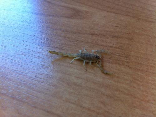 Scorpion ID Scorp11