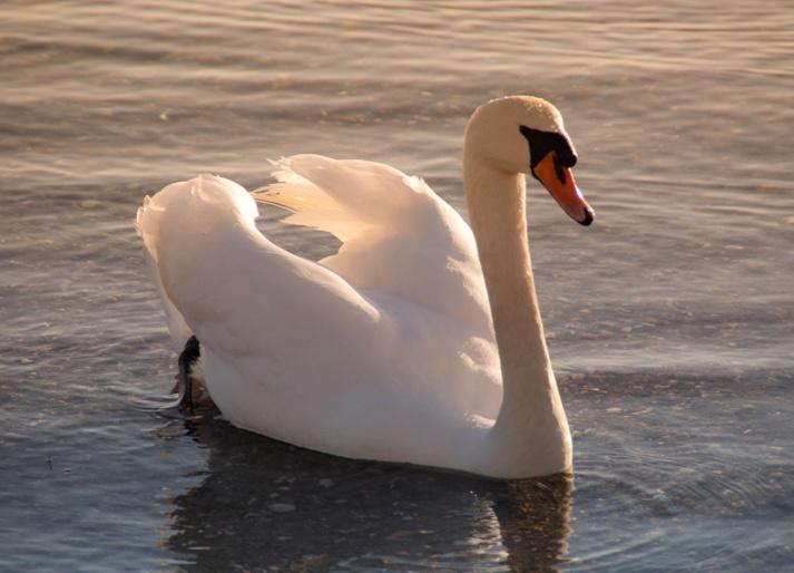 البجعة للتشيلو والبيانو اشهر اعمال سان صانص الموسيقية Swan110