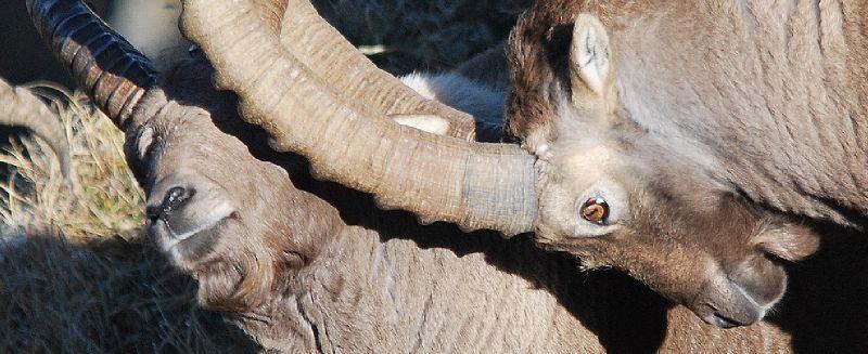 Le bouquetin, animal de l'année 2006 en Suisse 69741410