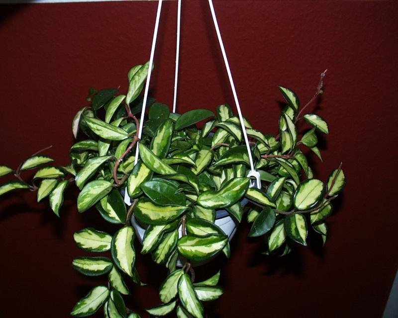 Carnosa- variegata, carnosa-tricolor, unterschiede? Carnos11
