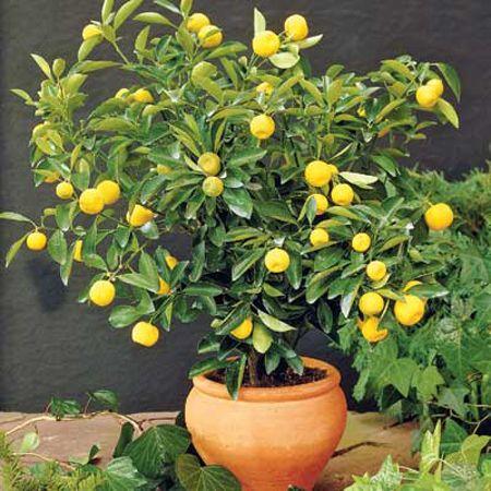 Albero di limoni Limoni10