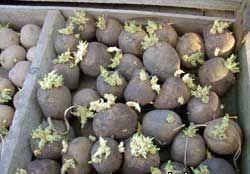 Картофель по соломе в фотографиях Dsdnnd22
