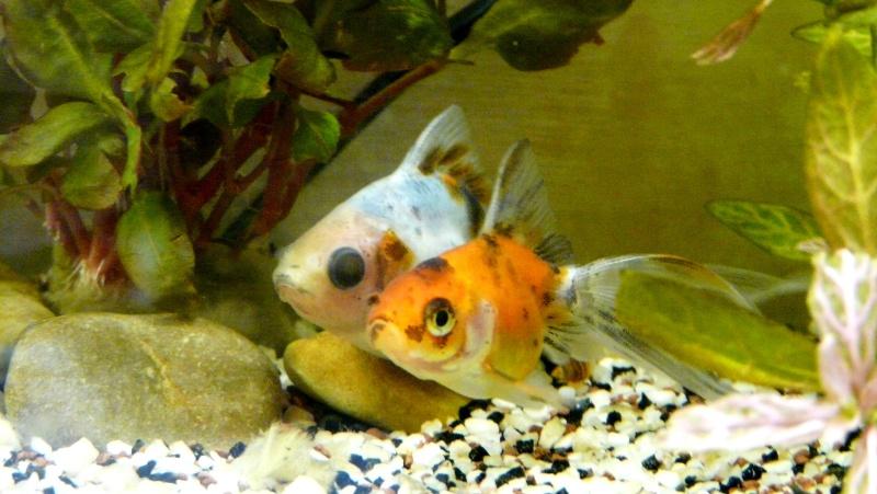 Lancement prochain d'un 180l poissons rouges. 00913