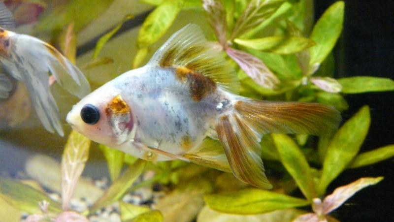 Lancement prochain d'un 180l poissons rouges. 02211