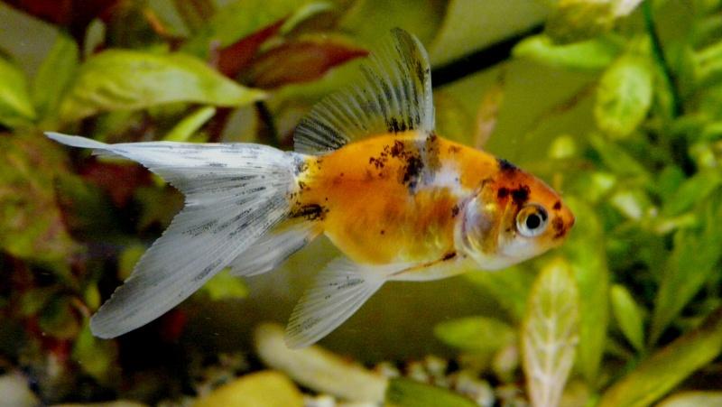 Lancement prochain d'un 180l poissons rouges. 02911