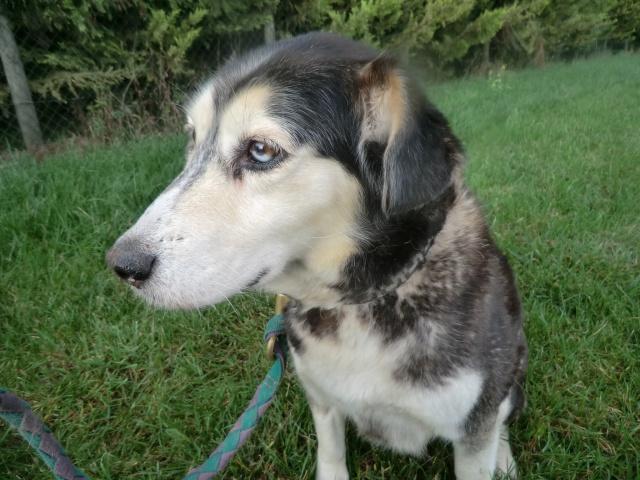SWALLY croisée husky de 12 ans dans  le 80 URGENT Cimg7311