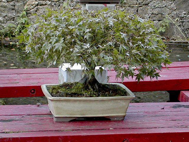bambouseraie anduze Bonsai10
