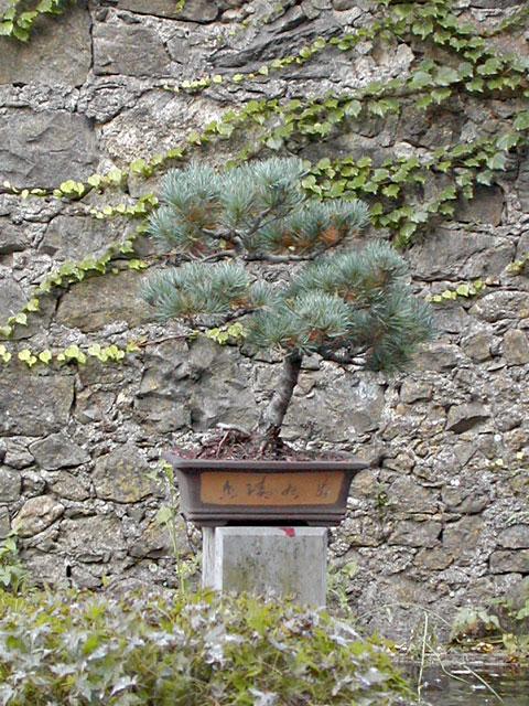 bambouseraie anduze Bonsai11