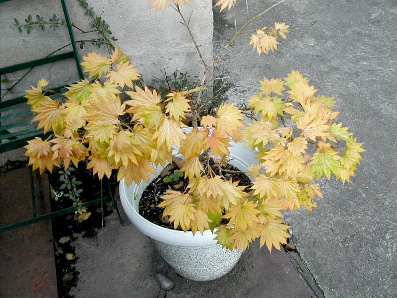 couleurs d'automne Erable13