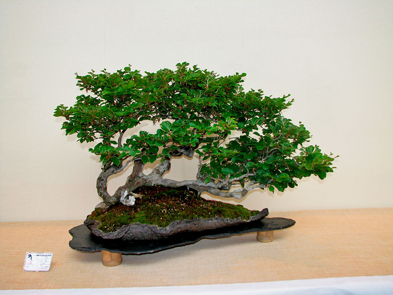 DONZAC (82) 19 et 20 mai 2012 exposition regionale de bonsai Img_0010