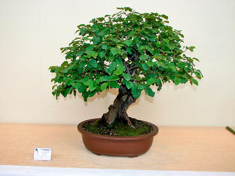 DONZAC (82) 19 et 20 mai 2012 exposition regionale de bonsai Img_0011