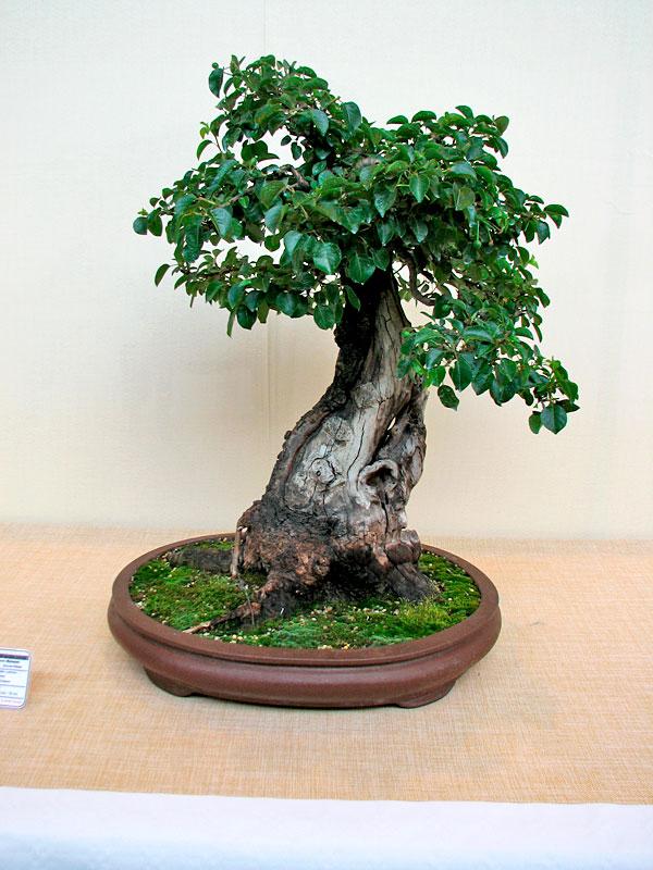 DONZAC (82) 19 et 20 mai 2012 exposition regionale de bonsai Img_0012