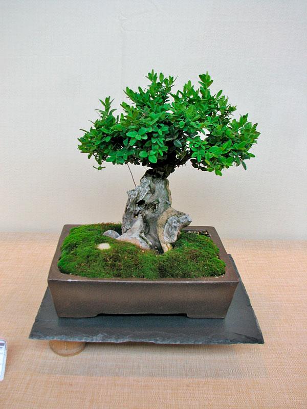DONZAC (82) 19 et 20 mai 2012 exposition regionale de bonsai Img_0013