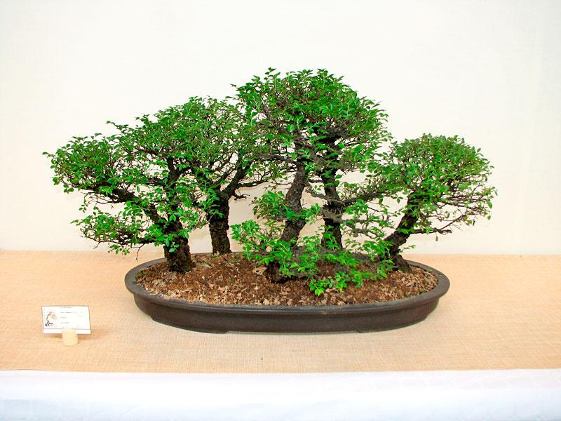 DONZAC (82) 19 et 20 mai 2012 exposition regionale de bonsai Img_0015