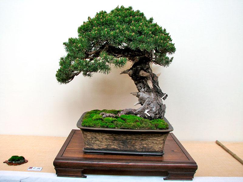 DONZAC (82) 19 et 20 mai 2012 exposition regionale de bonsai Img_0017