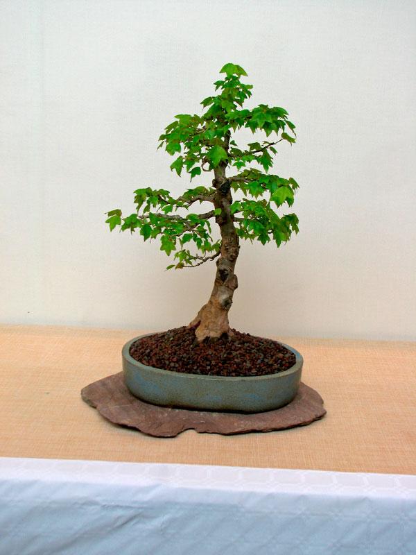 DONZAC (82) 19 et 20 mai 2012 exposition regionale de bonsai Img_0018