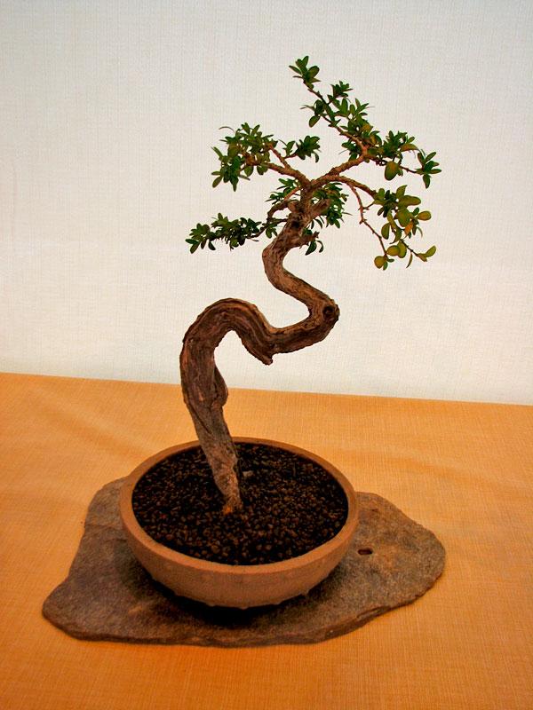 DONZAC (82) 19 et 20 mai 2012 exposition regionale de bonsai Img_0019