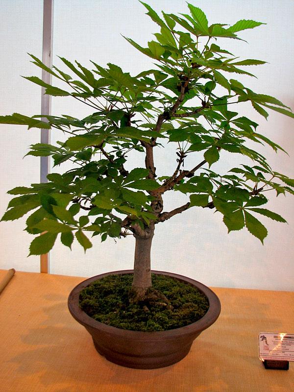 DONZAC (82) 19 et 20 mai 2012 exposition regionale de bonsai Img_0020