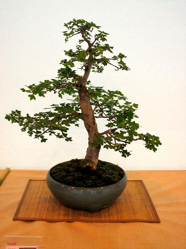 DONZAC (82) 19 et 20 mai 2012 exposition regionale de bonsai Img_0021