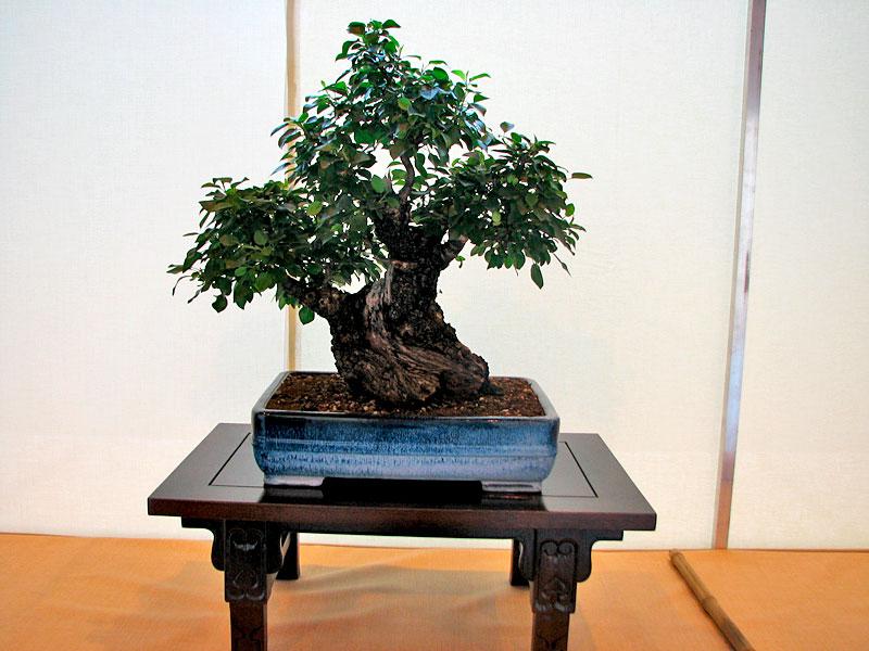 DONZAC (82) 19 et 20 mai 2012 exposition regionale de bonsai Img_0024