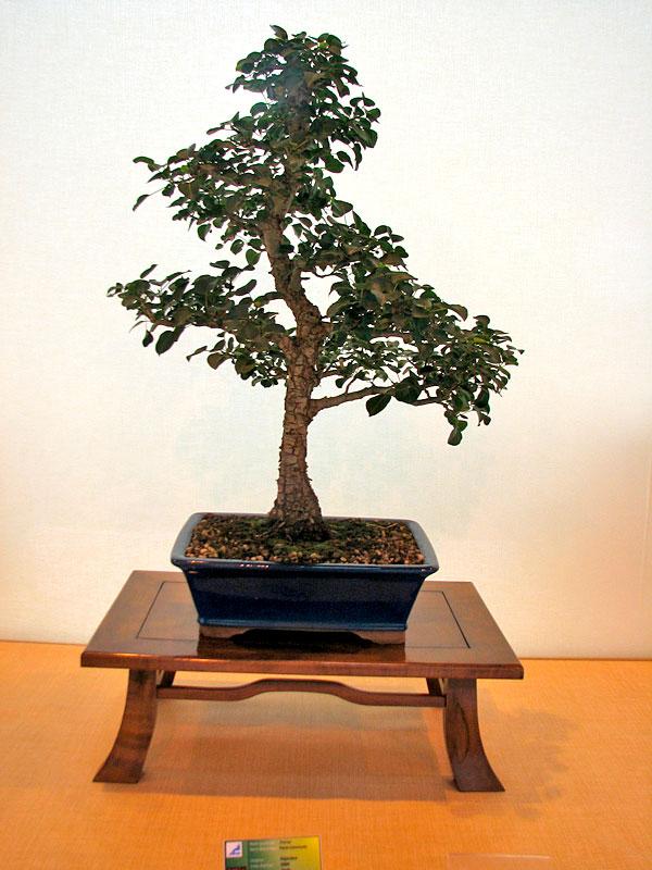 DONZAC (82) 19 et 20 mai 2012 exposition regionale de bonsai Img_0032