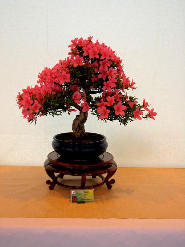 DONZAC (82) 19 et 20 mai 2012 exposition regionale de bonsai Img_0033