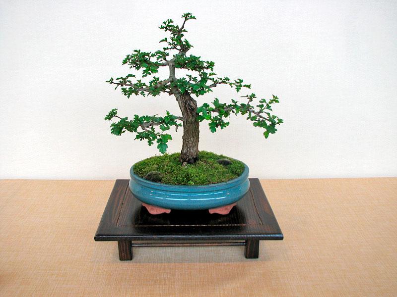 DONZAC (82) 19 et 20 mai 2012 exposition regionale de bonsai Img_0040