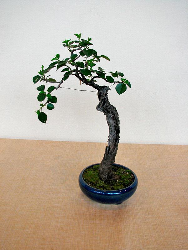 DONZAC (82) 19 et 20 mai 2012 exposition regionale de bonsai Img_0041