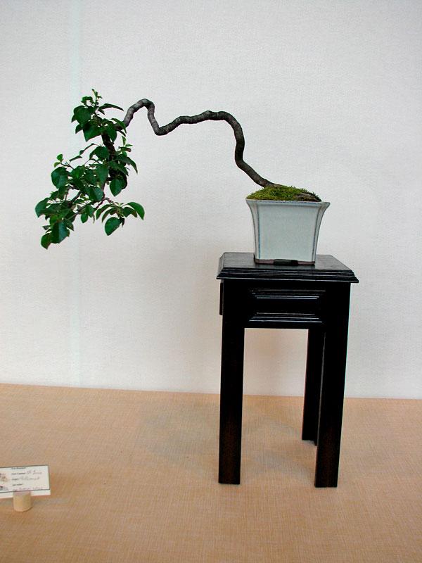 DONZAC (82) 19 et 20 mai 2012 exposition regionale de bonsai Img_0042