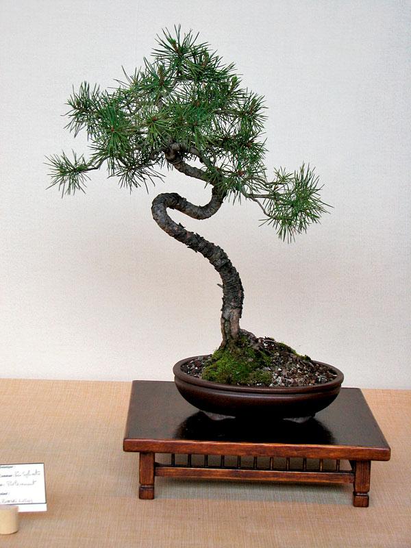 DONZAC (82) 19 et 20 mai 2012 exposition regionale de bonsai Img_0043