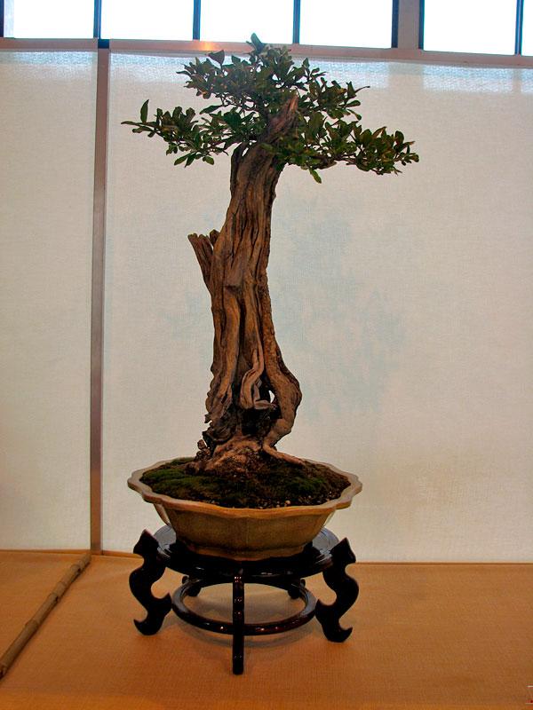 DONZAC (82) 19 et 20 mai 2012 exposition regionale de bonsai Img_0045