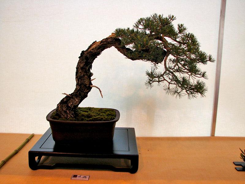 DONZAC (82) 19 et 20 mai 2012 exposition regionale de bonsai Img_0047